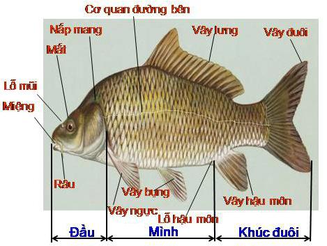 Cấu tạo ngoài của cá chép
