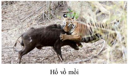 Hổ vồ mồi