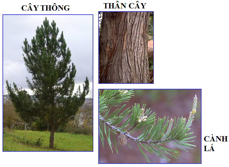 Cơ quan sinh dưỡng của cây thông