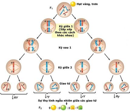 Cơ sở tế bào học của quy luật phân li độc lập