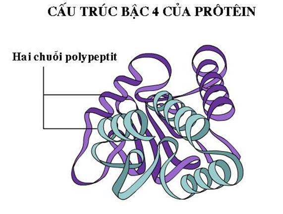 cấu trúc bậc 4 của protein