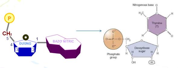 Cấu trúc nucleotit