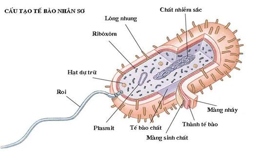 Cấu tạo của tế bào nhân sơ