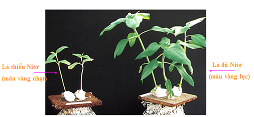 Dấu hiệu cây thiếu nitơ