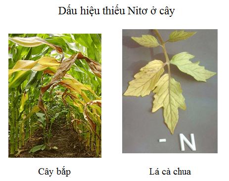 Dấu hiệu thiếu nitơ