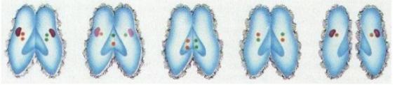 Sinh sản tiếp hợp ở trùng giày
