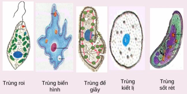 Một số đại diện của động vật nguyên sinh