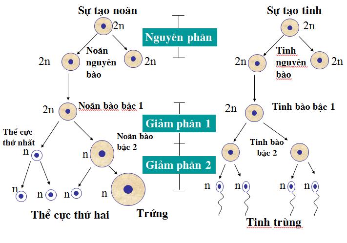 Phát sinh giao tử cái và giao tử đực