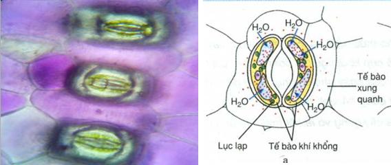 Tế bào ban đầu