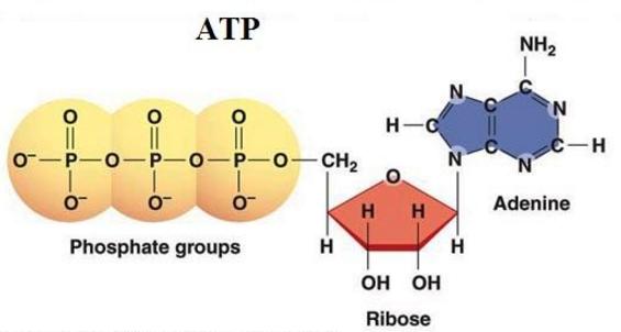 Thành phần hoá học của ATP