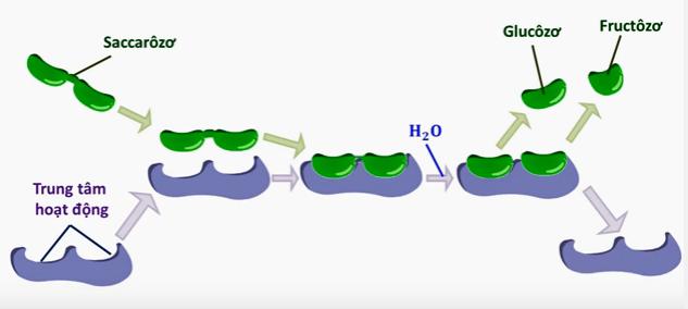Cơ chế tác động của enzim saccarozo