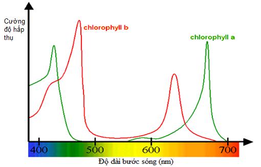 cường độ hấp phụ ánh sáng của các loại sắc tố quang hợp