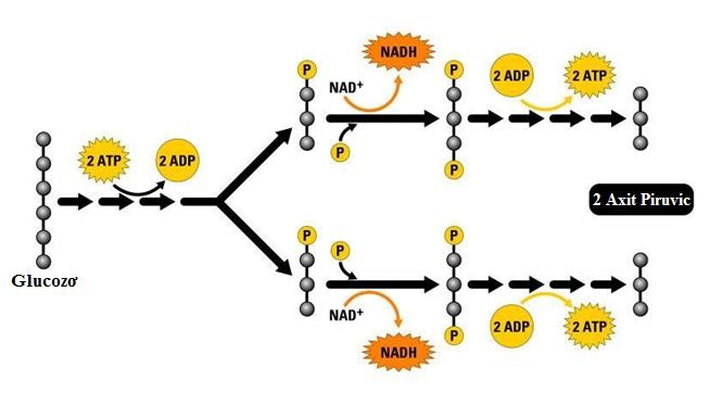 Quá trình đường phân