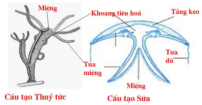 cấu tạo sứa
