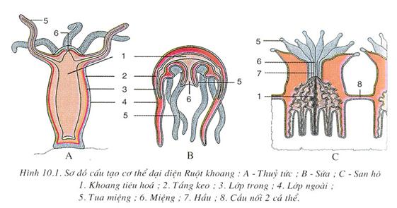 Cấu tạo cơ thể của đại diện ruột khoang