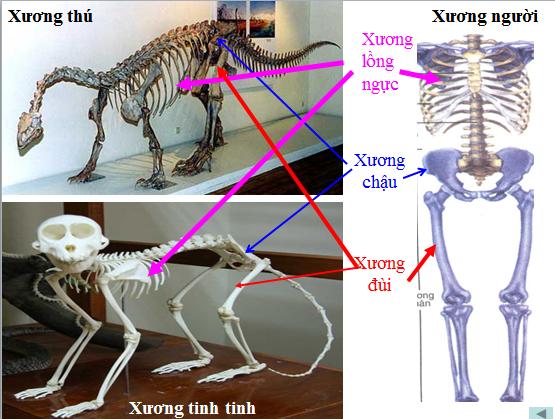 Khác biệt giữa xương người và thú
