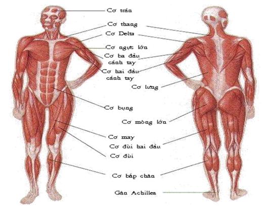Tiến hoá của hệ cơ người