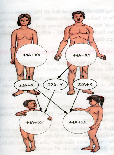 Cơ chế xác định giới tính ở người