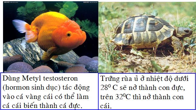 Điều chỉnh giới tính ở cá và rùa