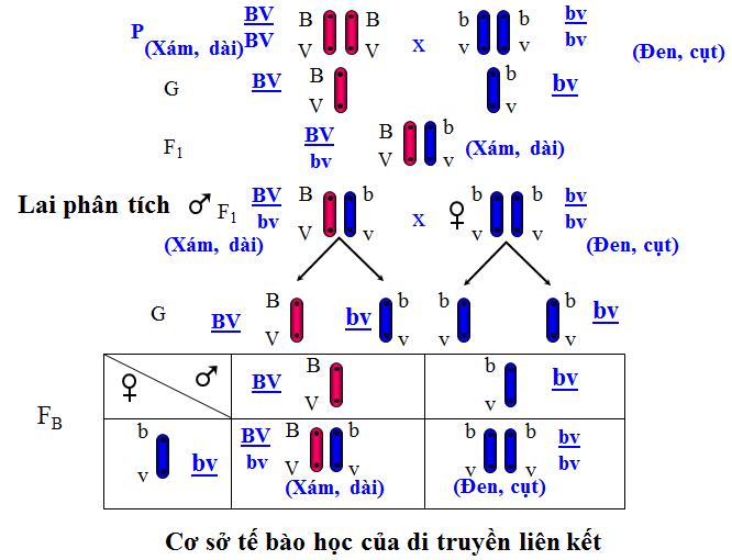 Cơ sở tế bào học của di truyền liên kết