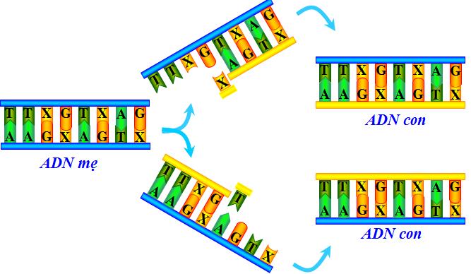 Quá trình tự nhân đôi ADN