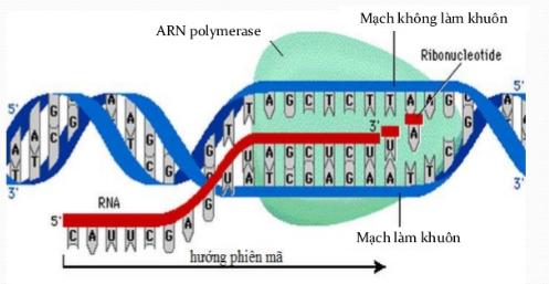Quá trình tổng hợp ARN