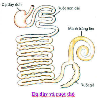 Dạ dày và ruột thỏ