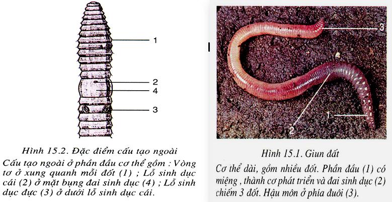 Cấu tạo ngoài của giun đất