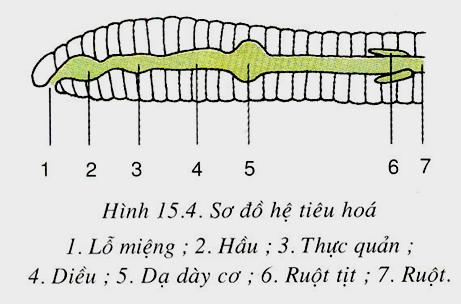 Hệ tiêu hoá của giun đất