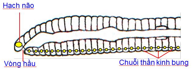 Hệ thần kinh của giun đất