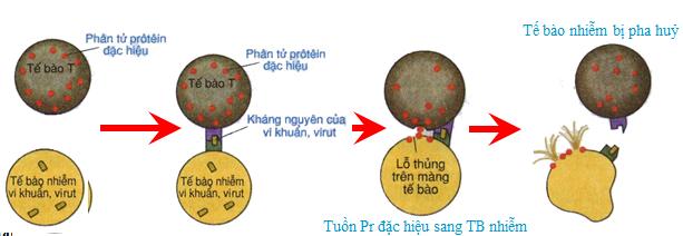 Hoạt động của tế bào T