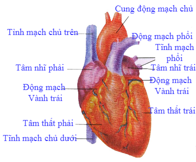 Hình dạng mặt ngoài phía trước của tim