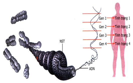 Mối quan hệ giữa gen và biểu hiện tính trạng
