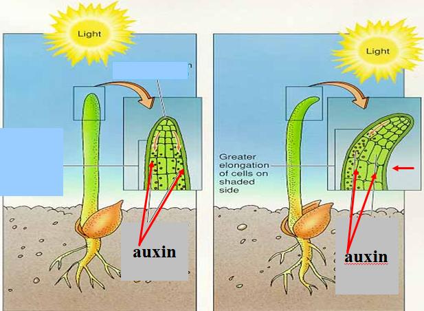 Vai trò của auxin đến hướng động