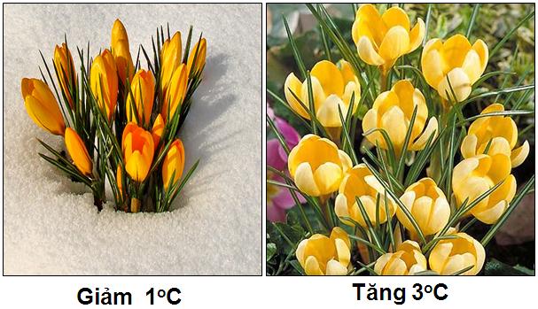 Sự nở hoa theo nhiệt độ