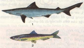 Cá nhám, cá trích