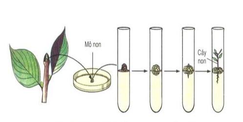 Nuôi cấy mô thực vật trogn ống nghiệm