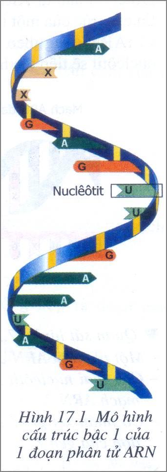 Mô hình 1 đoạn ARN