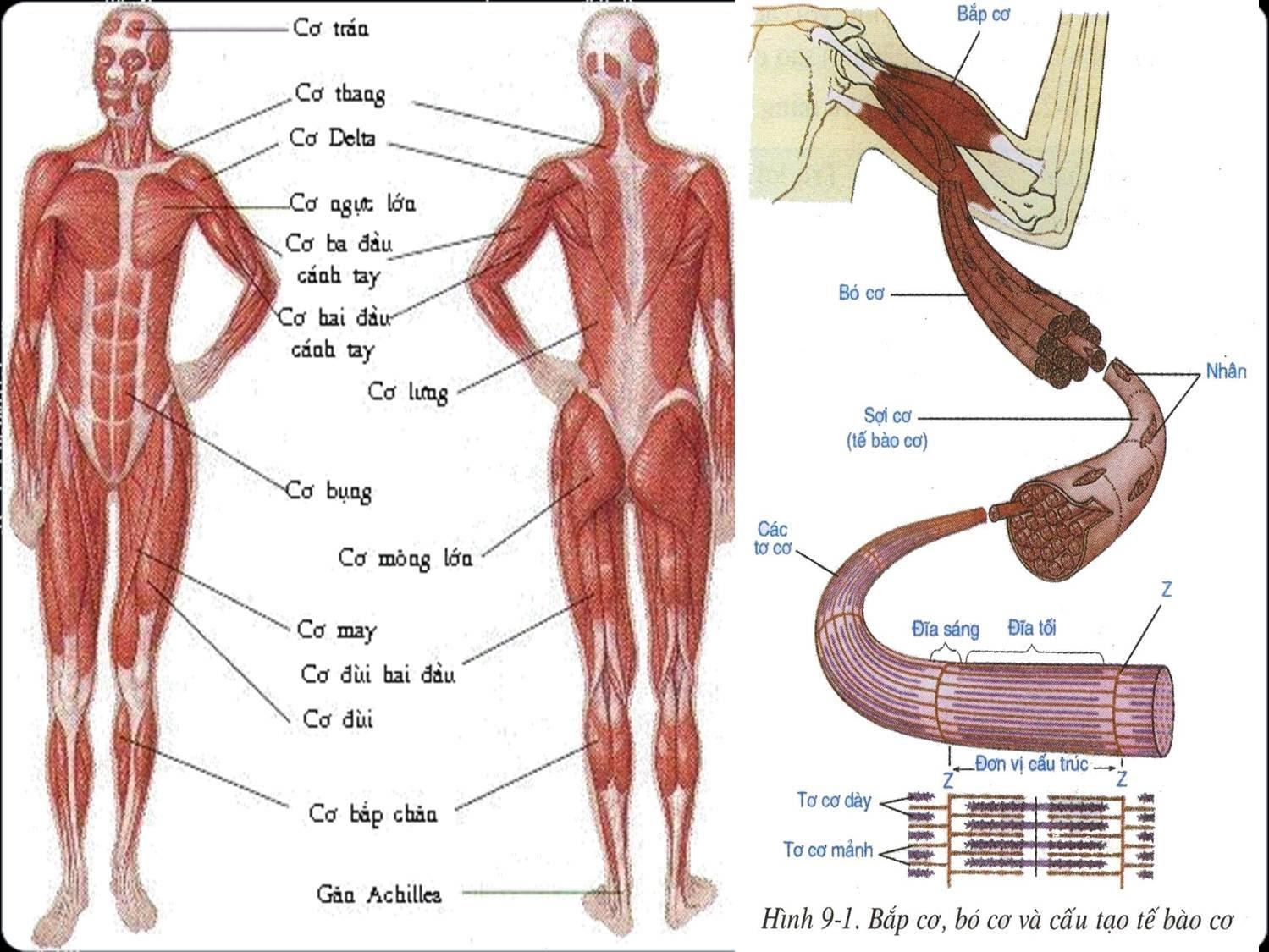 Hệ cơ và cấu tạo bắp cơ, tế bào cơ