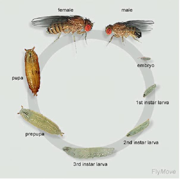Vòng đời của ruồi giấm
