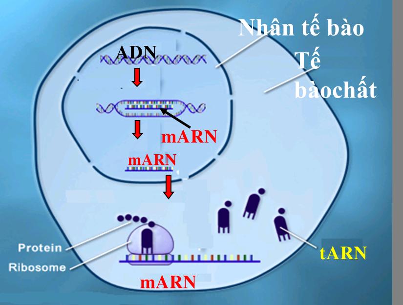 Mối quan hệ giữa gen và ARN