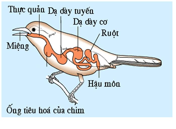 Tiêu hóa ở chim