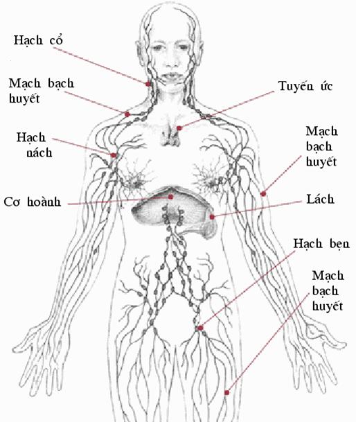 Sự phân bó hạch bạch huyết trên cơ thể người