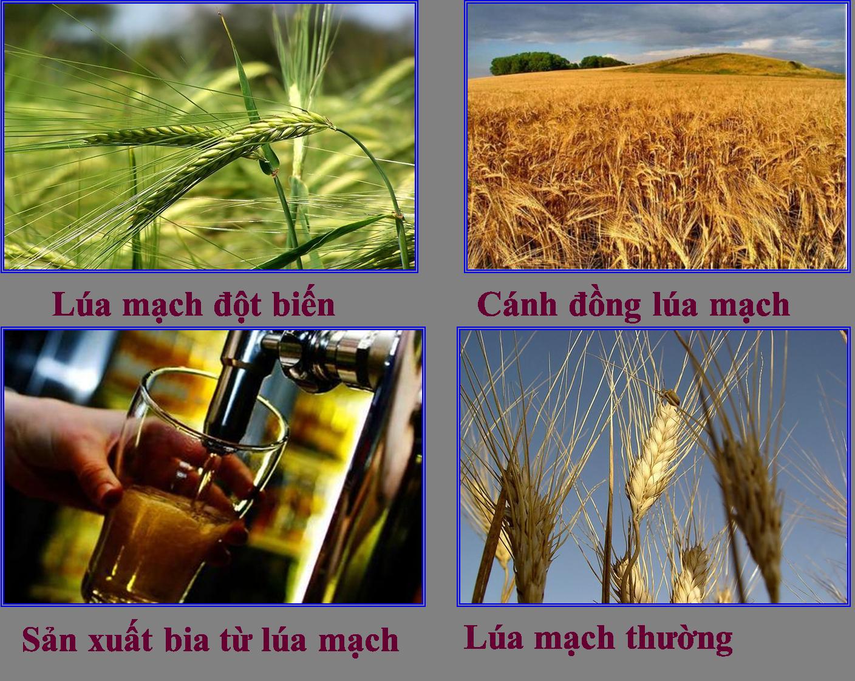 Lúa mạch đột biến cho năng suất và sử dụng tong sản xuất công nghiệp