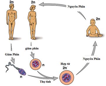 Quá trình thụ tinh hình thành cơ thể mới