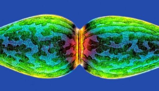 Hình ảnh của một loại vi tảo nhỏ, phóng đại 40 lần.