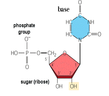 Cấu trúc của nucleotit ARN