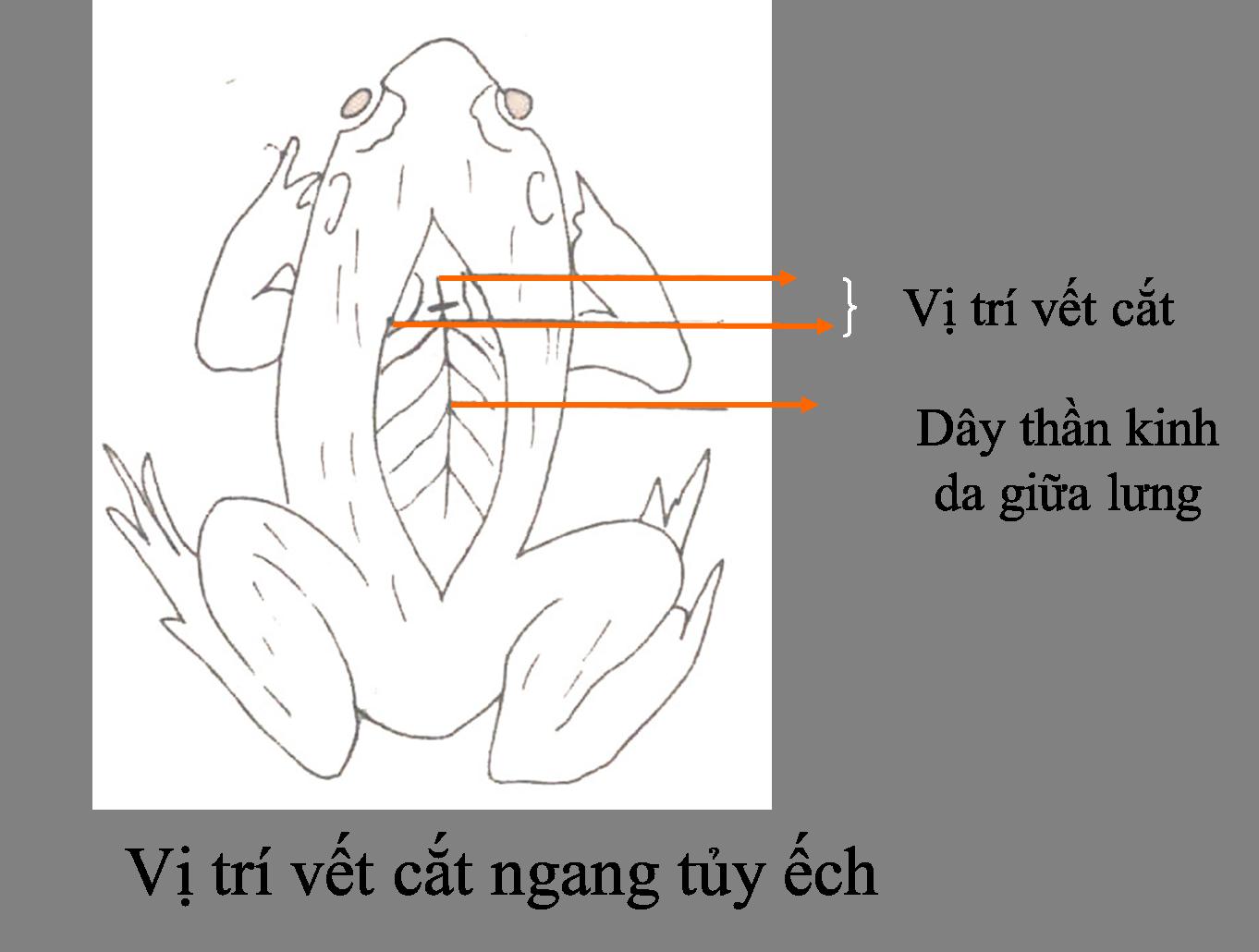 Cắt ngang tủy ếch