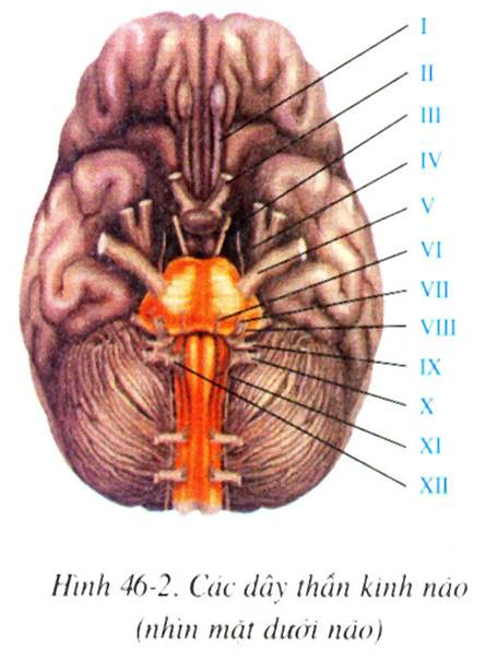 Các dây thần kinh não