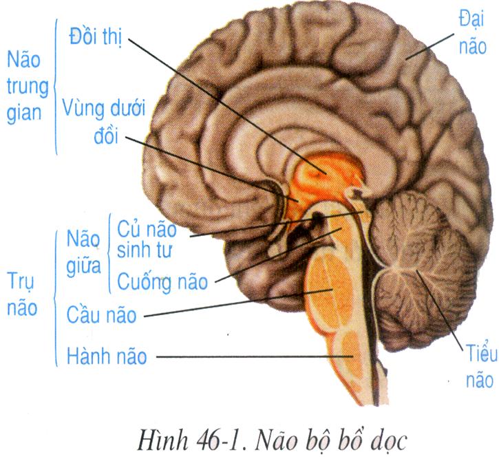 Vị trí và các thành phần của não bộ
